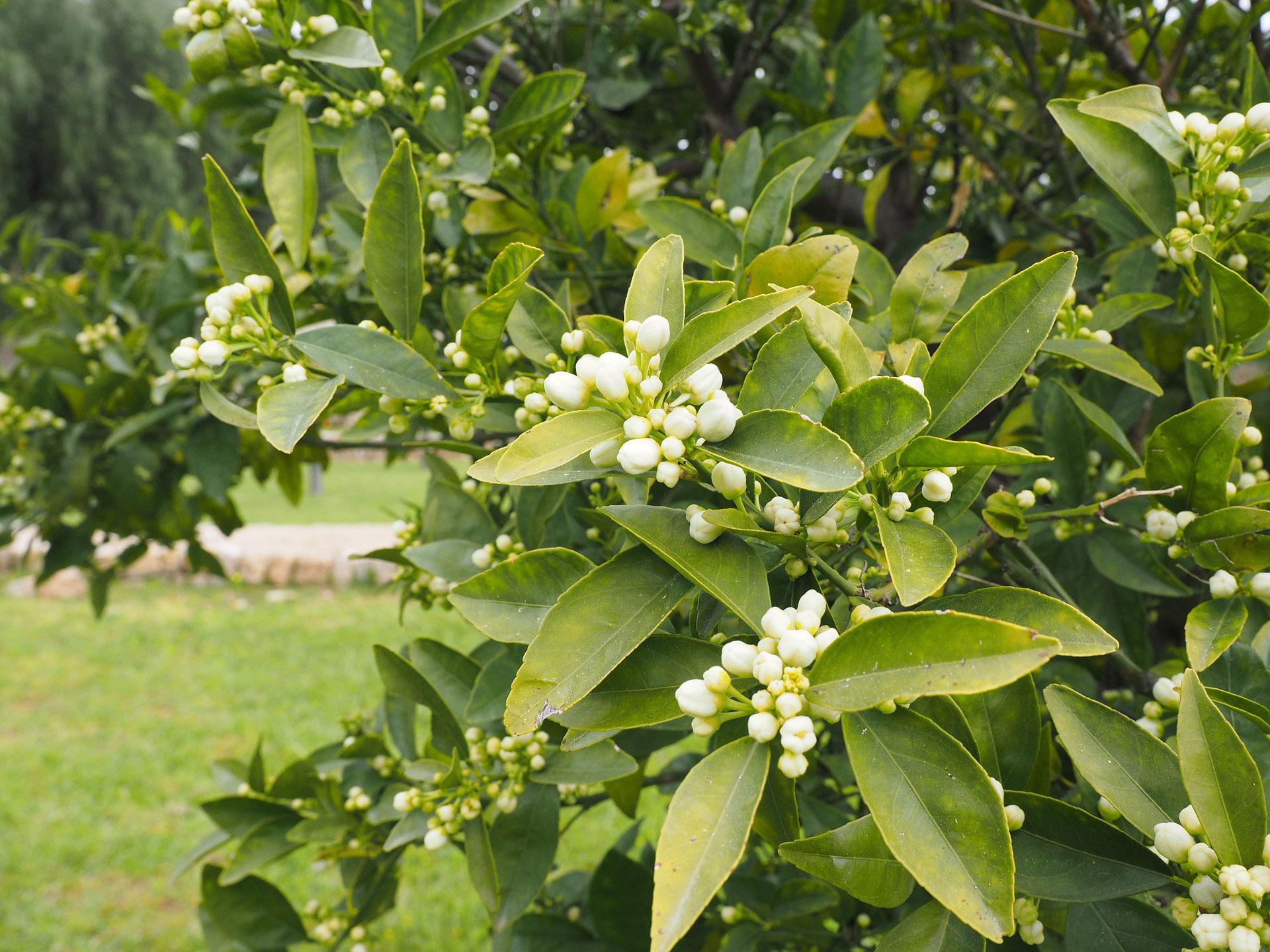 arbol-perfumista-naranjo1